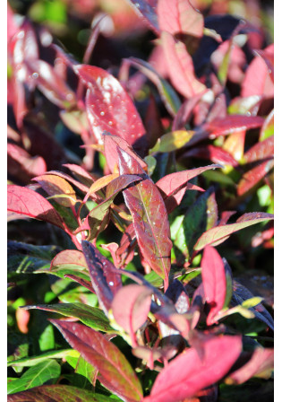 Leucothoe 'Red Lips®'