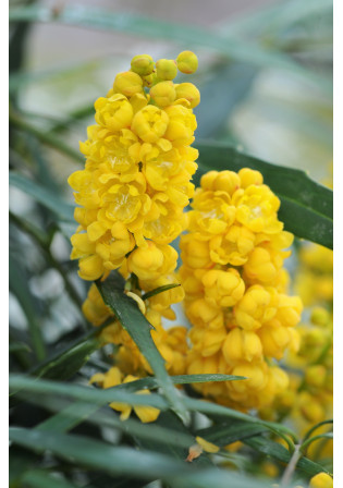 Mahonia 'Soft Caress ® '