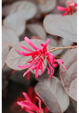 Loropetalum 'Black Pearl®'