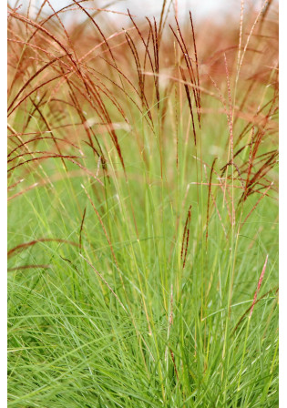 Miscanthus 'Cute One'