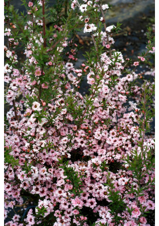 Leptospermum 'Coral Candy'