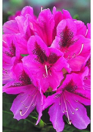 Rhododendron 'Cosmopolitain'