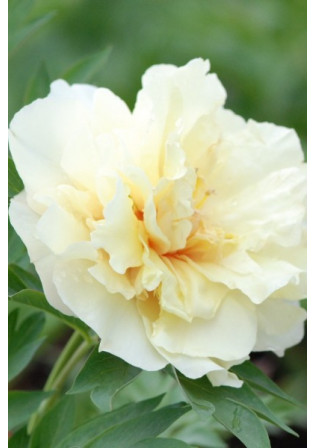 Pivoine 'Canary Brilliants'