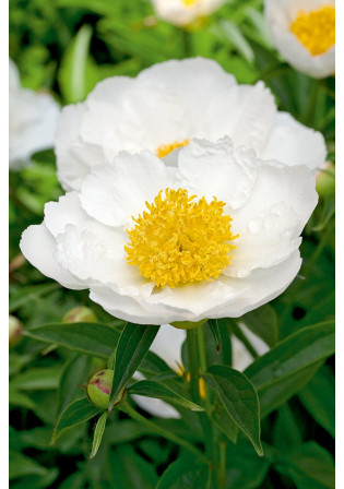 Pivoine 'Krinkled White''