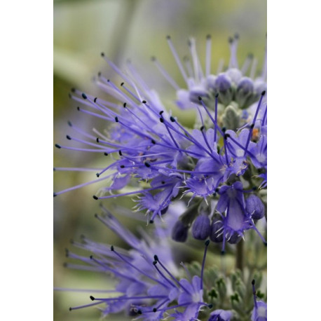 Caryopteris 'Blue Fountain'