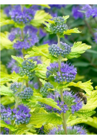 Caryopteris 'Hint of Gold'
