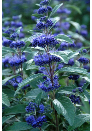 Caryopteris 'Grand bleu®'