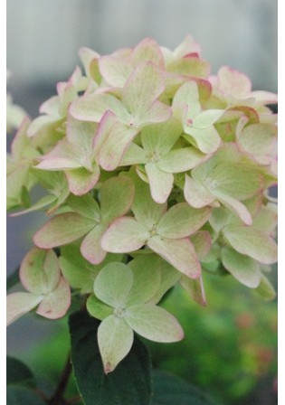 Hortensia Magical® 'Candle'