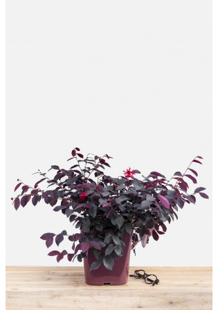 Loropetalum 'Ever Red'