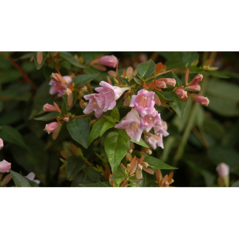 8c1645fc6a6c9d Abelia  Sherwood  - In My French Garden