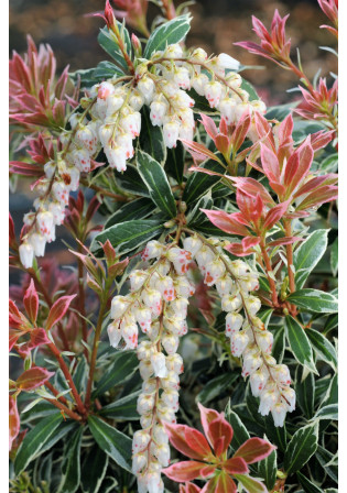 Andromède 'Little Heath Variegata'