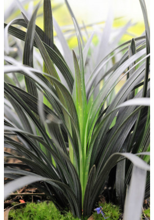 Ophiopogon 'Black Beard®'