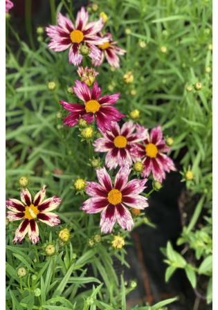 Coreopsis 'Little Bang Starlight'