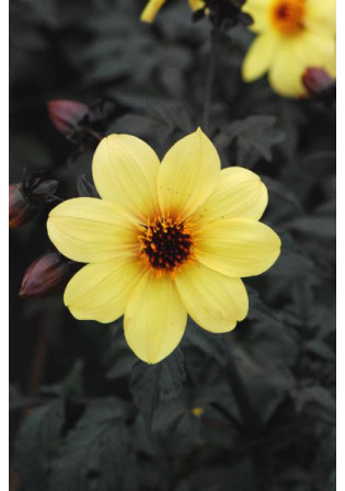 Dahlia Mystic® 'Illusion'