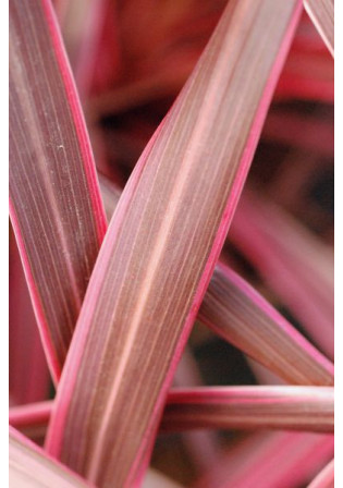 Cordyline 'Cherry Sensation'