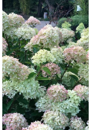 Hortensia 'Little Lime®'